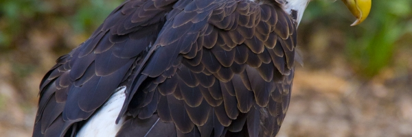 This eagle lost its one wing to a hunter its at a place called Brook Green Gardens south of Myrtle Beach South Carolina